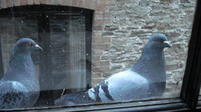 Pigeons by bedroom window can affect your sleep.