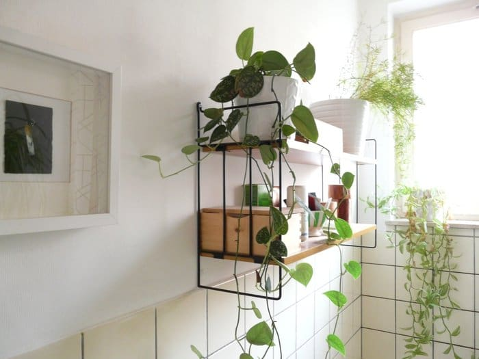 If you want to put plants in restroom, select those with strong survival abilities such as the Heart-Leaf Philodendron.