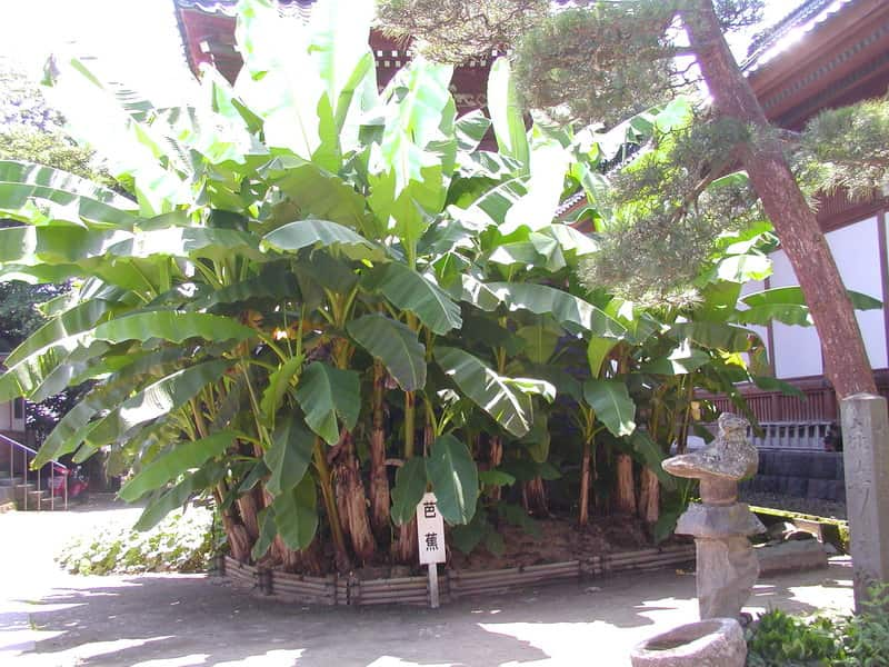 Basho Trees are also said to attract Yin energy.