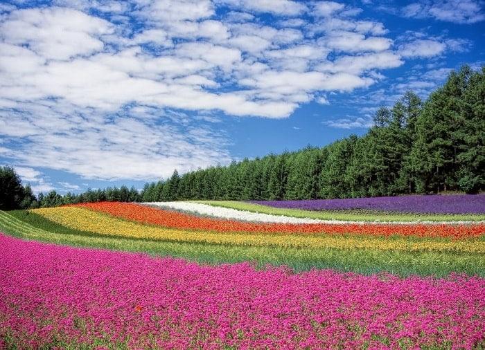flower-garden-blue-sky-hokkaido-japan-mixing-colors-feng-shui-elements-min (Demo)