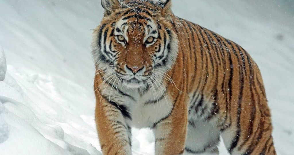 tiger in snow year of tiger (Demo)