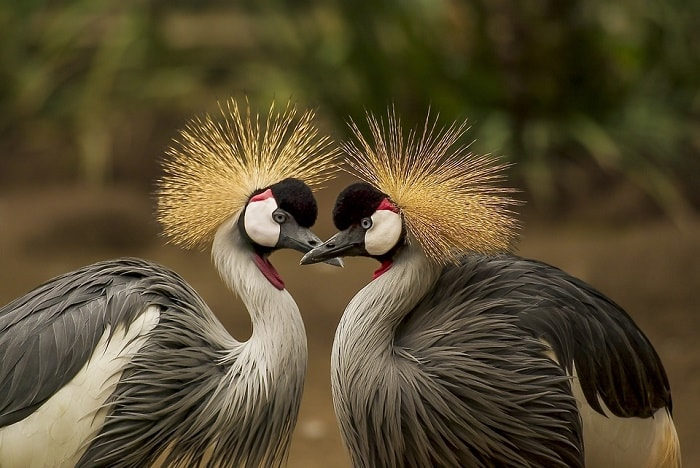 grey-crowned-crane-love birds-min (Demo)