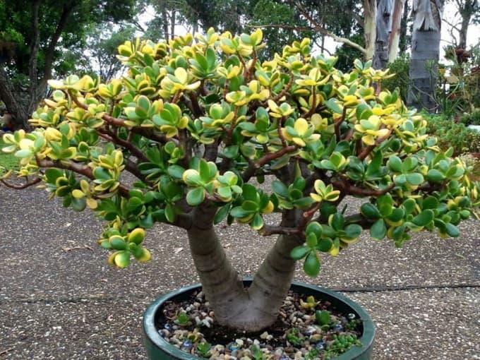 Crassula-ovata-Hummels-Sunset-Golden-Jade-Tree5-min (Demo)